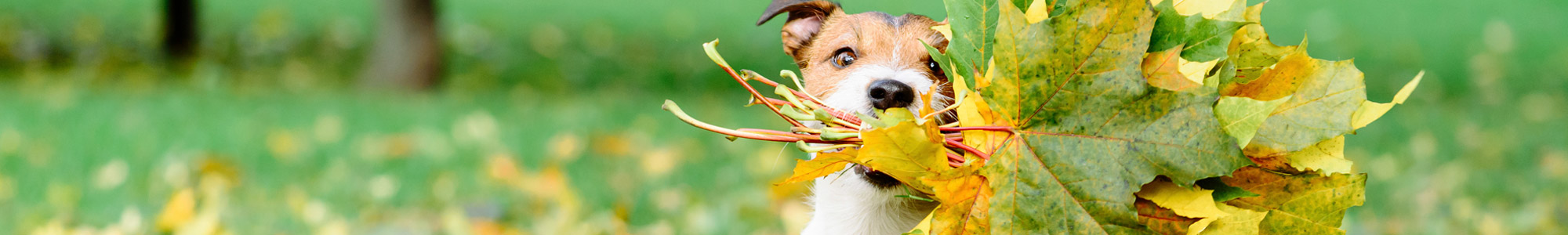 cute dog with a collection of fall leaves in its mouth